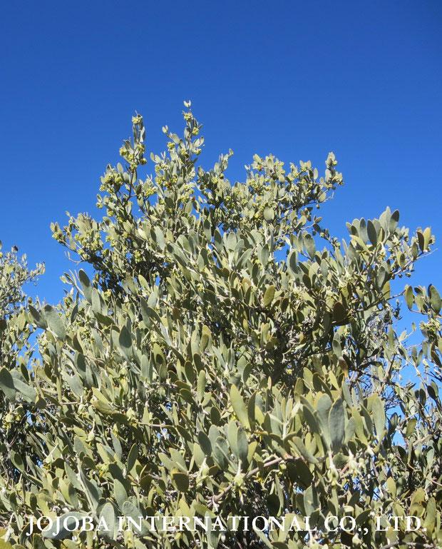 ❦ 古代、ホホカム族が定住農業をしていたと云われる広大な大地にて生長するアリゾナ州原産原種ホホバ(純粋種Sayuri原種ホホバ)雌・Queenの灌木(1月撮影)