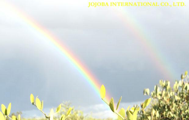 ♔ 原種ホホバと虹