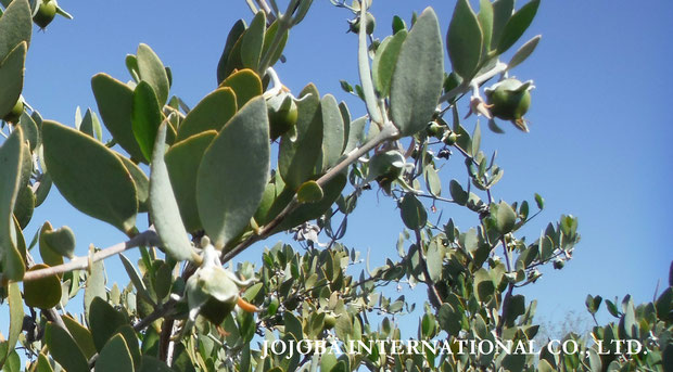 ♔ Beautiful Spring Jojoba Seeds ♪