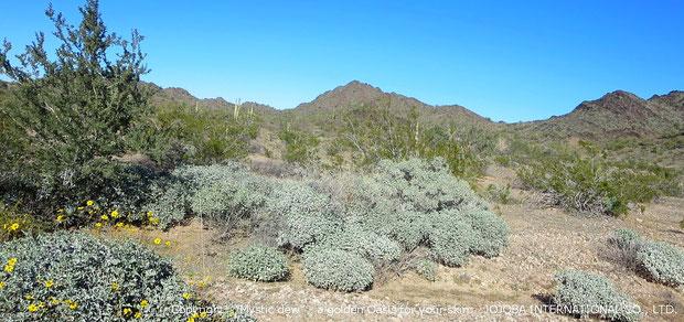 ♔ 原種ホホバの聖地広大な大地の地下源泉は、アクアカリエンテの鉱泉が流れており、正にこの場所は砂漠のオアシスと言えます。私達のホホバオイルは、ハリウッドスターも内密で通ったと云われる温泉水・アクアカリエンテの美のマジック鉱泉で潤った高品質を誇るアリゾナ州原産砂漠の美宝神秘の植物・原種のゴールデンホホバオイル『ホホゴールド』です。