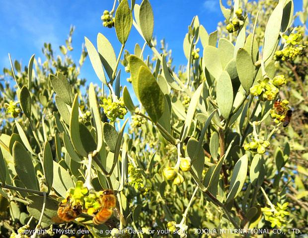 ❦ アリゾナ州原産原種ホホバ(純粋種Sayuri原種ホホバ)の花(雄・King)とミツバチ(1月撮影)