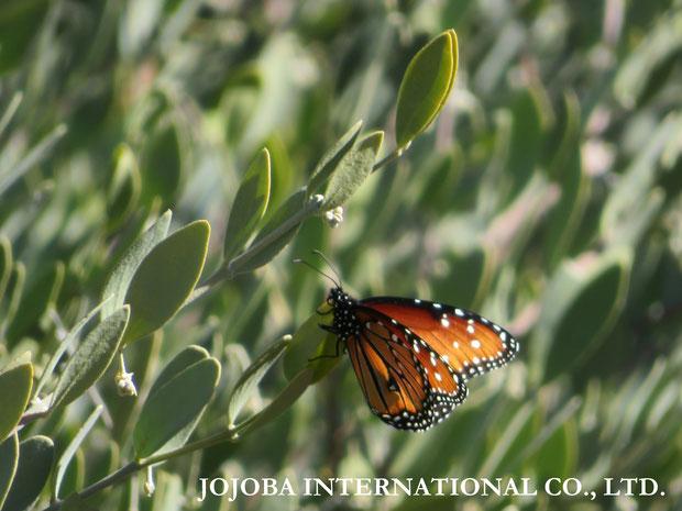 ♔ 原種ホホバ(純粋種Sayuri原種ホホバ)の花の蕾(雄・King)と蝶 Queen (Butterfly) 12月
