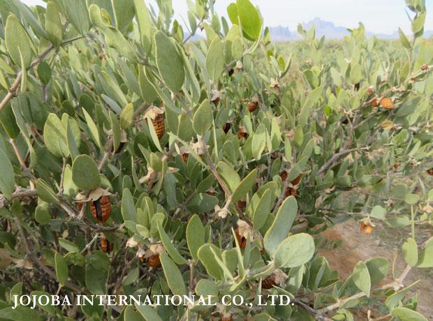 ♔ 原種ホホバの聖地アリゾナ州ハクアハラヴァレーで育つ原種ホホバ