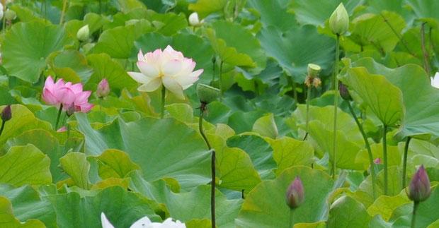 """白くうっすらピンクのハスの品種は""""ミセス・スローカム"""""""
