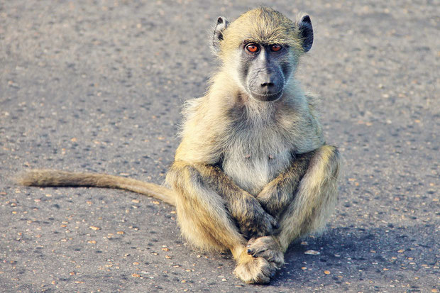 Baboons on the road at Kruger National Park | Where to find the big 5 - The Ultimate Guide to Wildlife Safari in South Africa | via @Just1WayTicket | Photo © Sabrina Iovino