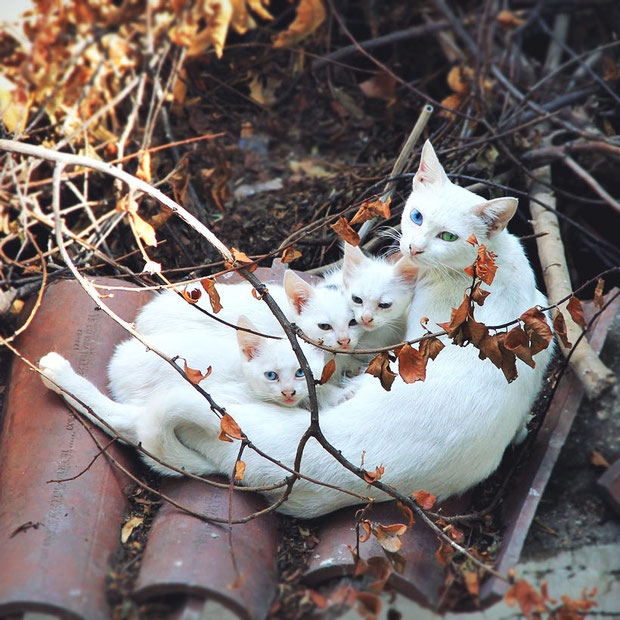 Turkish Angora Cats | 20 Photos That Will Make You Want To Visit Turkey! | via @Just1WayTicket