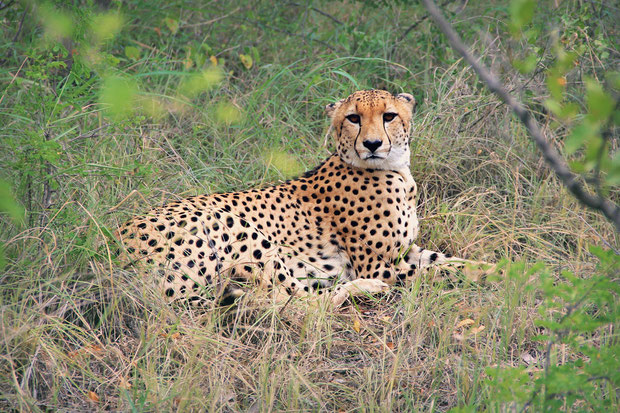 Young cheetah male | Where to find the big 5 - The Ultimate Guide to Wildlife Safari in South Africa | via @Just1WayTicket | Photo © Sabrina Iovino
