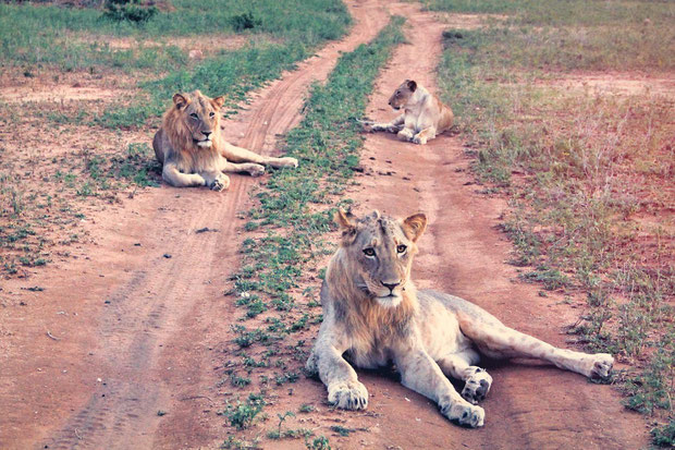 Lions sitting the road in Balule Game Reserve | Where to find the big 5 - The Ultimate Guide to Wildlife Safari in South Africa | via @Just1WayTicket | Photo © Sabrina Iovino