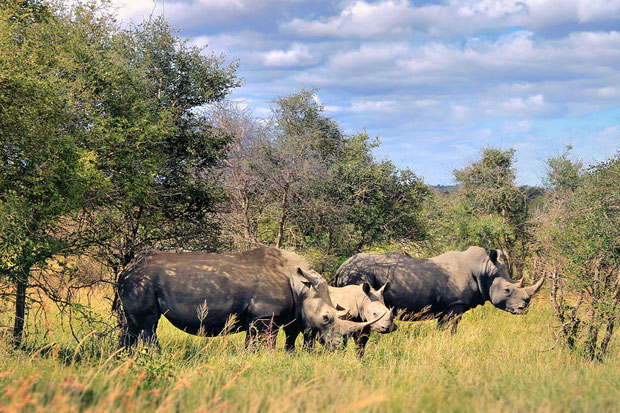 Rhino family at kruger National Park | Where to find the big 5 - The Ultimate Guide to Wildlife Safari in South Africa | via @Just1WayTicket | Photo © Sabrina Iovino