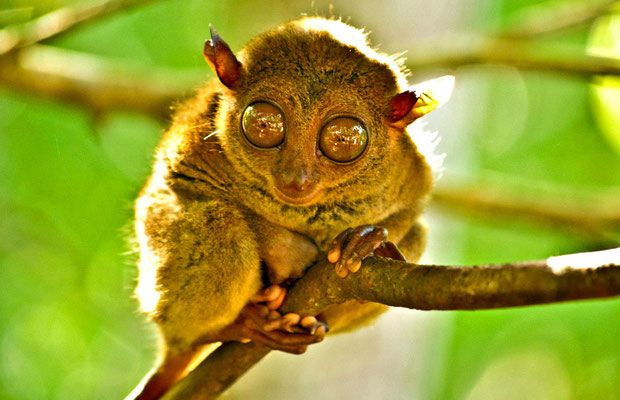 The Philippine Tarsier in Bohol | 20 Photos of the Philippines that will make you want to pack your bags and travel © Aime Andrade