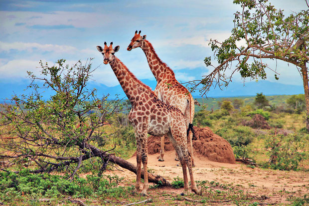 Giraffes in their natural habitat | Where to find the big 5 - The Ultimate Guide to Wildlife Safari in South Africa | via @Just1WayTicket | Photo © Sabrina Iovino