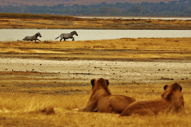 Safari Tour: Watching Lions who were watching zebras | Volunteering with Wildlife and Children in South Africa - My Enriching Experience | via @Just1WayTicket