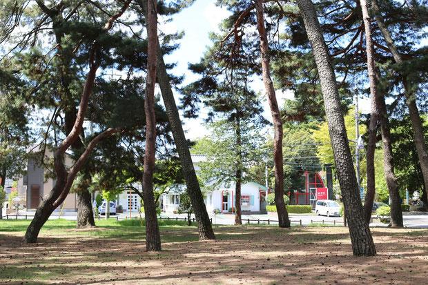 敷島公園黒松林