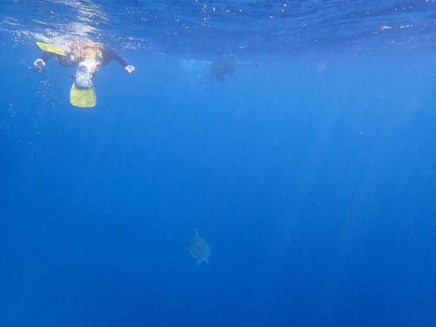 奥西表 船浮、網取、崎山でシュノーケル(スノーケル) ウミガメと泳ぐ
