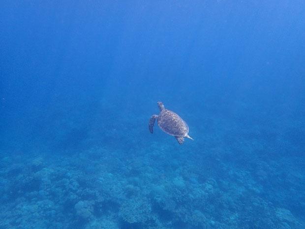 奥西表 船浮、網取、崎山でシュノーケル(スノーケル) ウミガメ発見