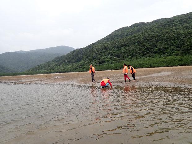 奥西表 仲良川下流の干潟でミナミコメツキガニと遊ぶ