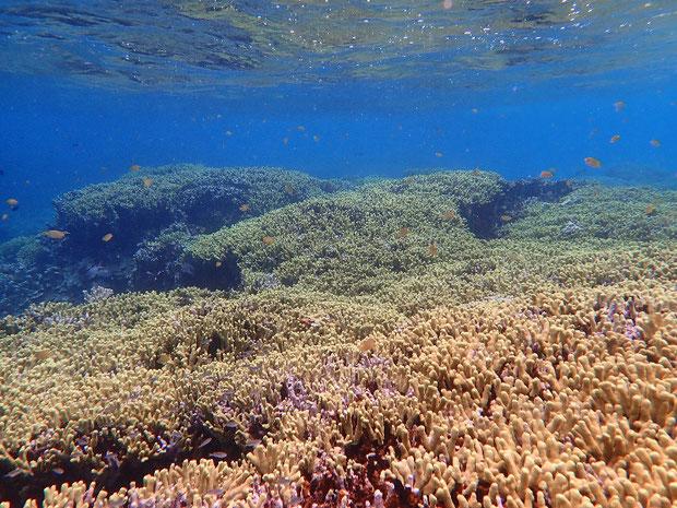 奥西表 船浮、網取、崎山でシュノーケル(スノーケル) サンゴ