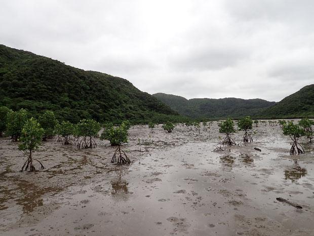 奥西表の仲良川下流のマングローブでヤエヤマヒルギ観察