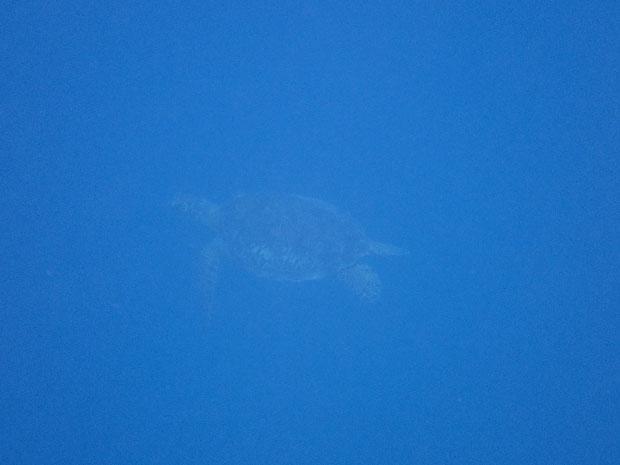 奥西表 船浮、網取、崎山でシュノーケル(スノーケル)でアオウミガメと泳ぐ