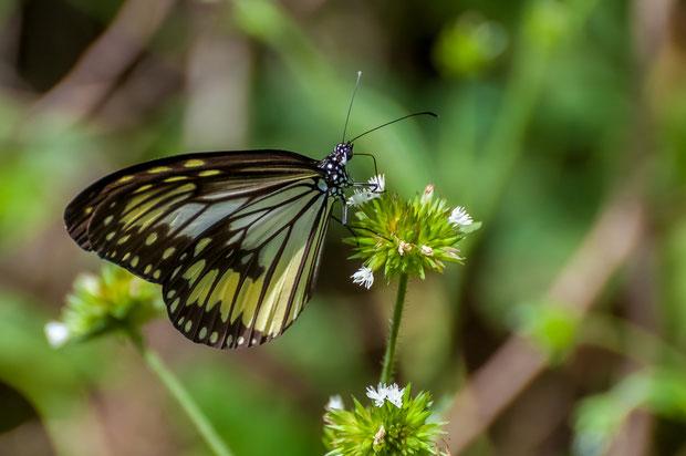 Schmetterling auf dem Weg zum Vulkan Mahawu