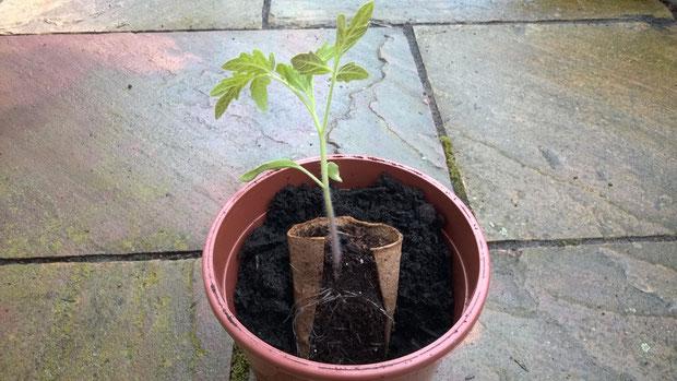 Bei Verwendung von Torftöpfen kann die Pflanze mitsamt des Topfes umgepflanzt werden.