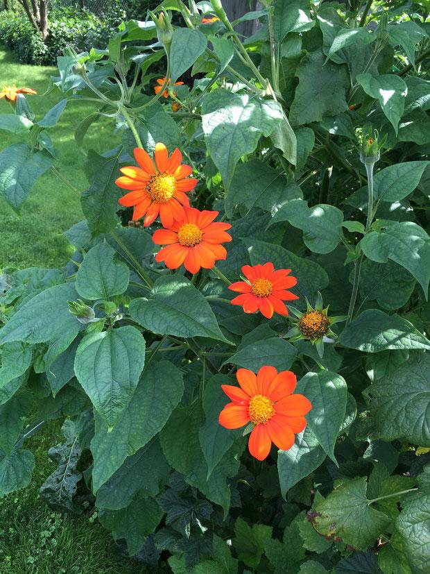 Mexikanische Sonnenblume orange 150 cm hoch