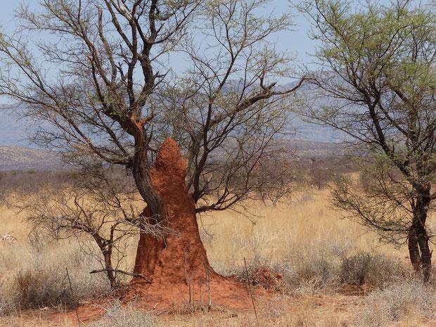Wie lange hält dieser Baum wohl den auf 3 m gewachsenen Termitenhügel aus?