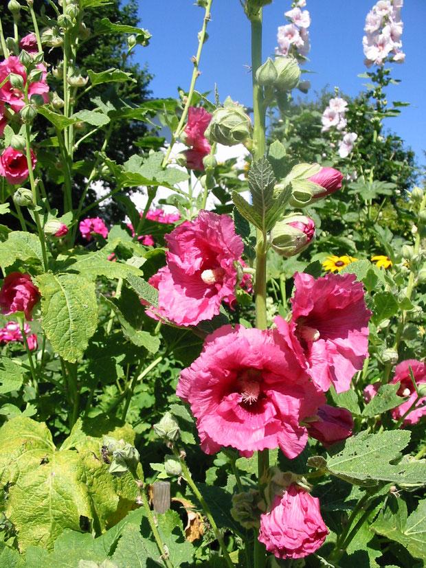 Ungefüllte Stockrosen in unserem Garten sind ein wahrer Pollen- und Nektarspender
