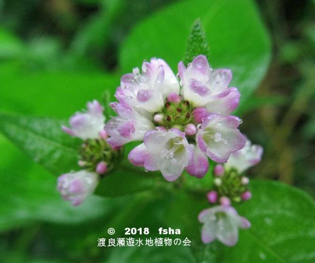 渡良瀬遊水地に生育しているミゾソバ(花)の画像
