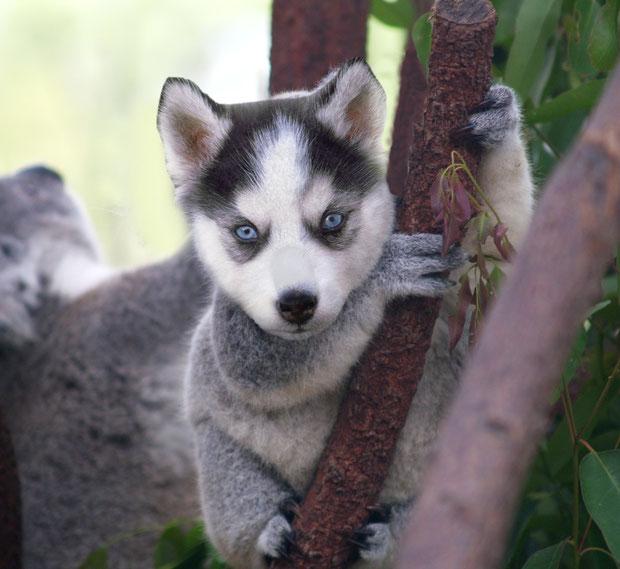Koala-Husky (KarleeD)