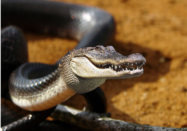 Snake/Crocodile (Ria K)