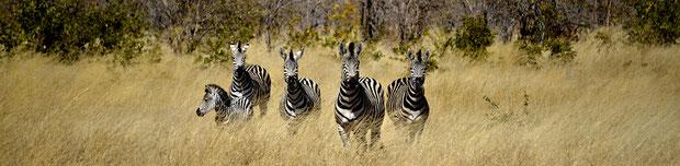 Gruppenfoto als Zebras verkleidet: Fabienne, Susanne, Felix, Regula und ich