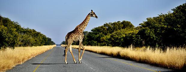 Zum Abschied, Giraffe auf dem geteerten Laufsteg (man beachte das vordere linke Bein;-))
