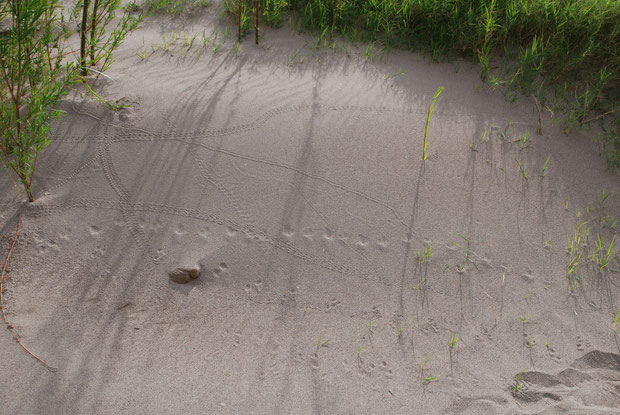 How many different tracks do you see in this sand bank and what do you suppose made them? Hmmm...