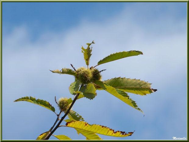 Châtaignier et ses bogues en automne, flore Bassin d'Arcachon (33)