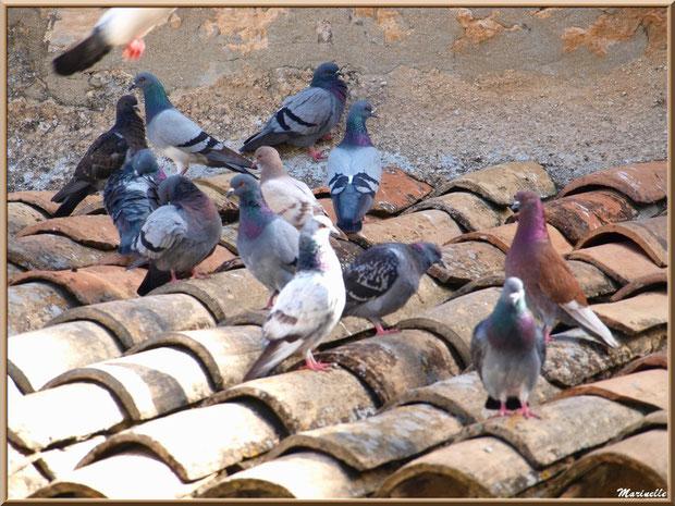 Pigeons en famille, Baux-de-Provence, Alpilles (13)