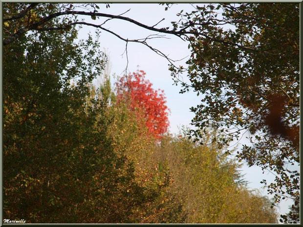 Chênes et boule de feu automnale, forêt sur le Bassin d'Arcachon (33)