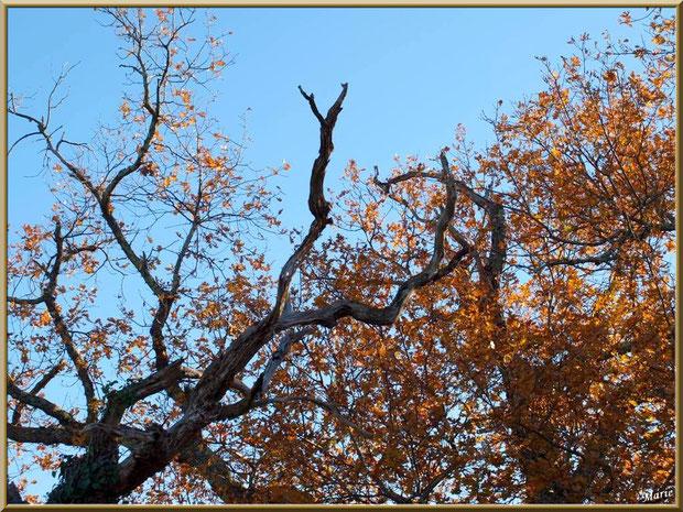 Vieux chêne en bordure du sur le Sentier du Littoral, secteur Moulin de Cantarrane, Bassin d'Arcachon