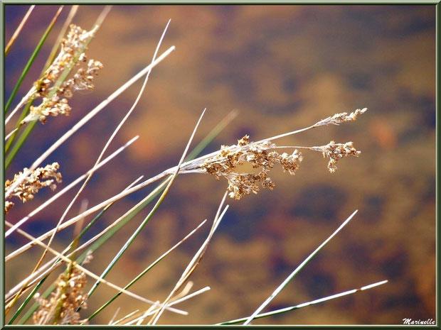 Herbacée de marais en fleurs en bordure d'un réservoir, Sentier du Littoral, secteur Port du Teich en longeant La Leyre, Le Teich, Bassin d'Arcachon (33)