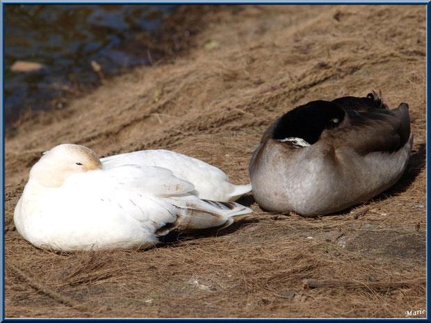 Canards au repos au bord du bassin au Parc de la Chêneraie à Gujan-Mestras (Bassin d'Arcachon)