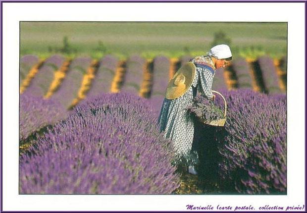 Cueilleuse de lavande (carte postale, collection privée)