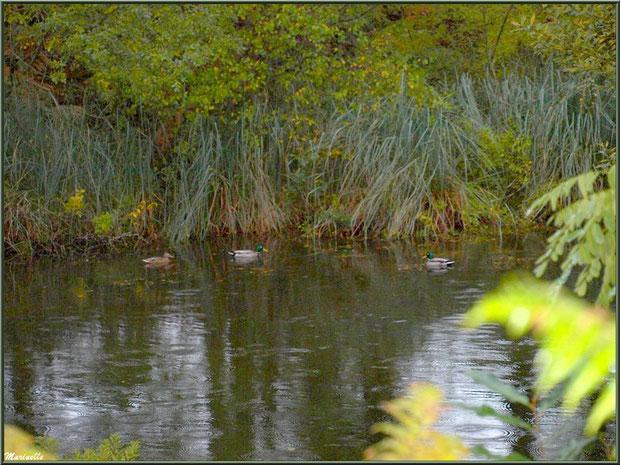 Canards sous la pluie au fil du Canal des Landes automnal au Parc de la Chêneraie à Gujan-Mestras (Bassin d'Arcachon)