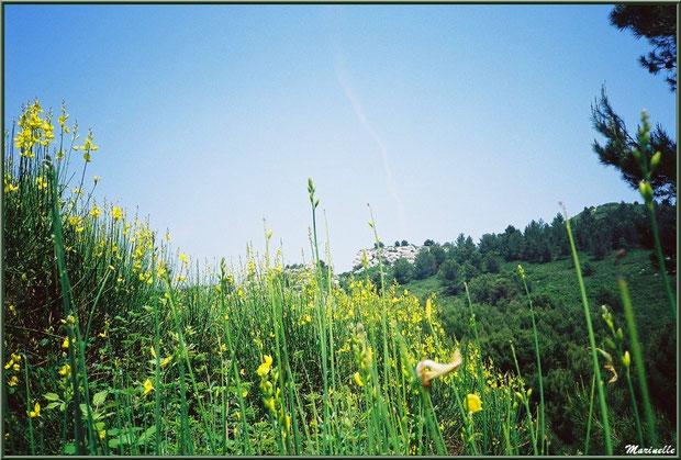 Genêts en fleurs et végétation sur la route du Val d'Enfer, Baux-de-Provence, Alpille (13)