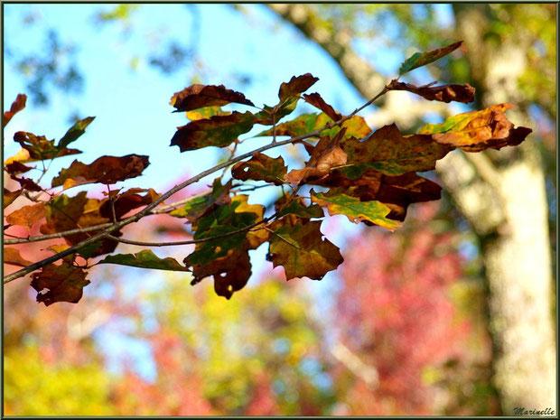 Chêne automnal en forêt sur le Bassin d'Arcachon (33)