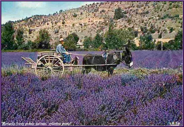 Charette au petit âne au milieu d'un champ de lavande (carte postale ancienne, collection privée)