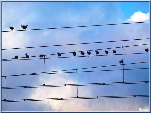 Mouettes sur fils électriques telles des notes sur portée musicale - Bassin d'Arcachon (33)