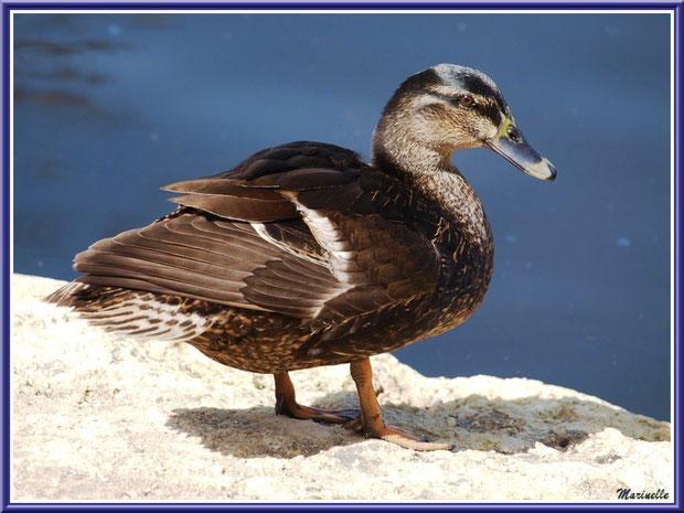 Madame canard au bord du bassin au Parc de la Chêneraie à Gujan-Mestras (Bassin d'Arcachon)