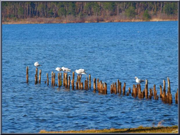 Lac de Sanguinet : mouettes sur piquets, Landes