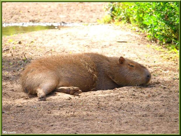 Capibara, Zoo du Bassin d'Arcachon, La Teste de Buch (33)
