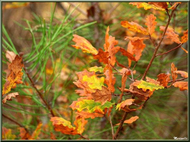 Méli mélo forestier : branches de chêne automnal et pin maritime, forêt sur le Bassin d'Arcachon (33)